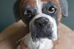 Angus Boxer Dog