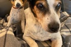 parsons-terrier